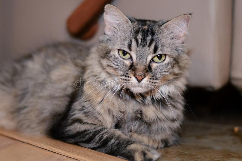 Hemhjälp cat royaltyfria bilder