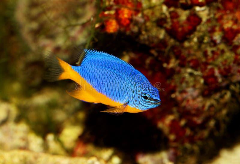 Hemicyanea de Chrysiptera do damselfish dos azuis celestes ou peixes do aquário da água salgada imagem de stock royalty free