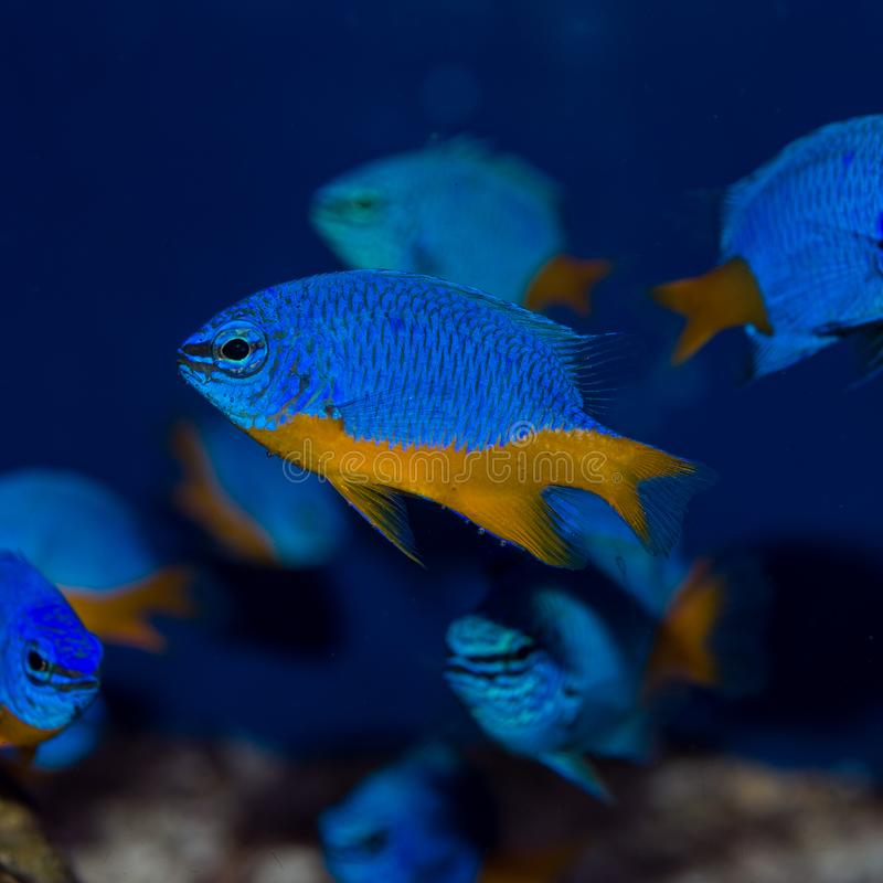 Hemicyanea di Azure Damselfish Group Chrysiptera fotografia stock libera da diritti