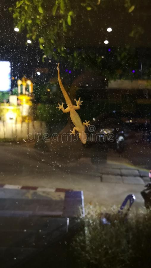 Hemidactylus底视图在镜子,选择聚焦的 免版税图库摄影