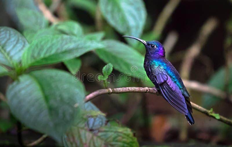 Hemileucurus sabrewing violeta de Campylopterus, varón adulto fotografía de archivo libre de regalías