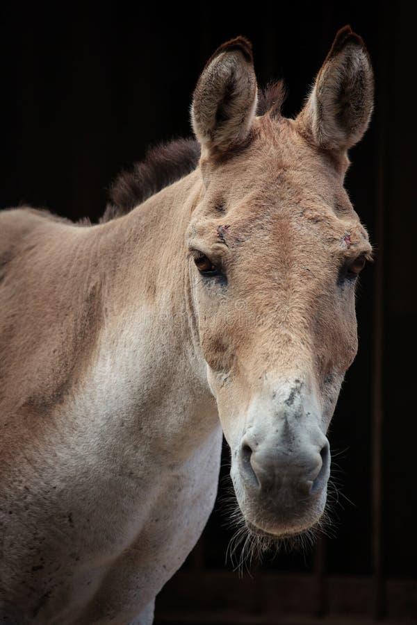 Hemionus kulan d'Equus de Turkmenian kulan photographie stock libre de droits