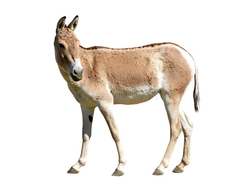 Hemionus kulan d'Equus de Turkmenian kulan image libre de droits