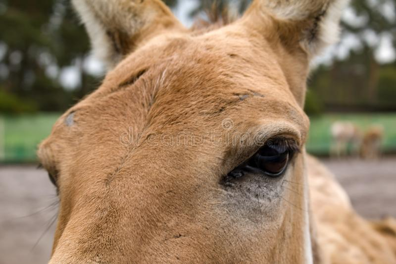 Hemionus kulan d'Equus de Turkmenian kulan, l'oeil des kulan photographie stock libre de droits