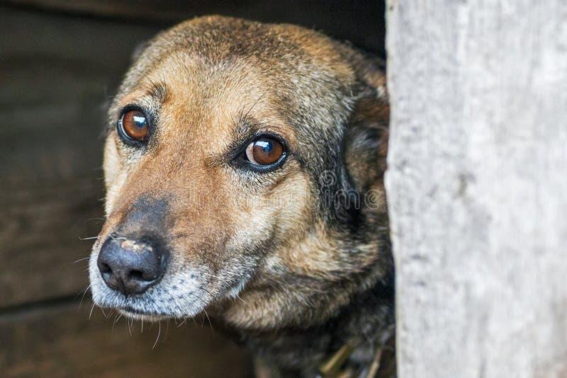 Hemlös övergiven tillfällig hund?? med mycket ledsna smarta ögon Den hemlösa hunden ser med enorma ledsna ögon med hoppet av att  royaltyfri bild