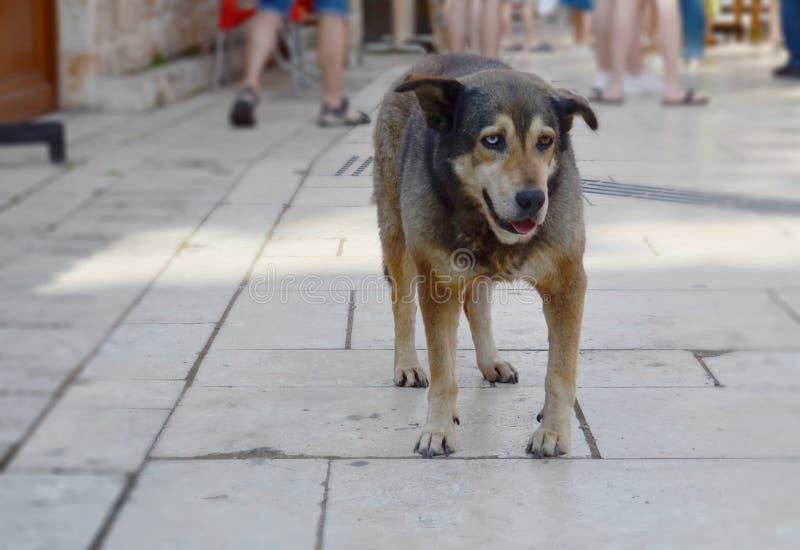 Hemlös hund med olika kulöra ögon på en gata av Antalya, Turkiet Ett öga är blått, annat öga är brunt arkivfoto