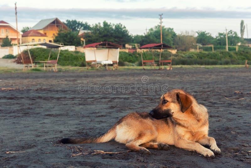 Hemlös hund på sand royaltyfria foton