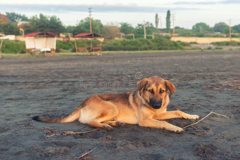 Hemlös hund på sand royaltyfria bilder