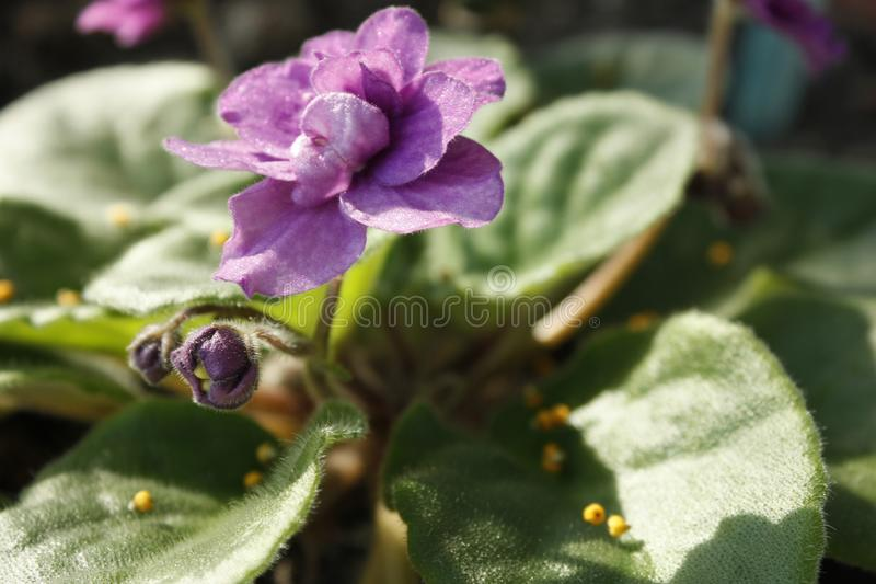 Hemlagad violett violett blomma med gröna sidor tätt upp under strålarna av vårmorgonsolen royaltyfri bild