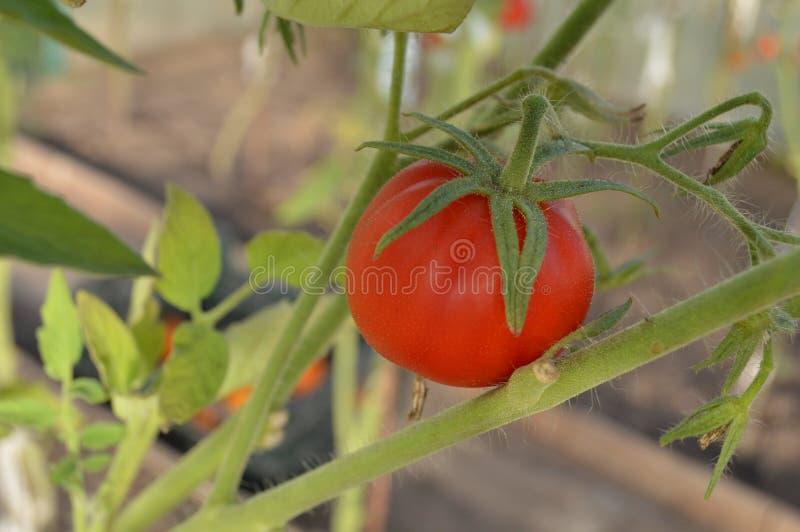Hemlagade röda och läckra tomater i trädgården royaltyfri foto