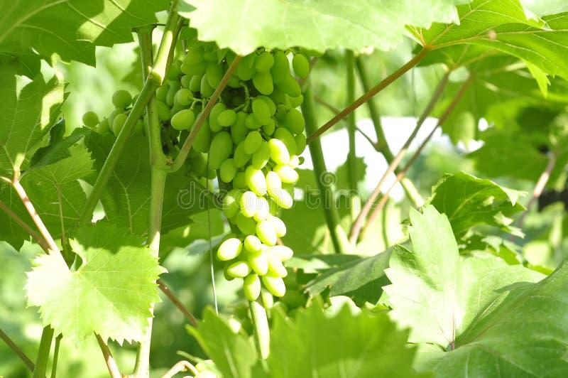 Hemlagade unga druvor som växer gröna Hem- lantbruk arkivfoton