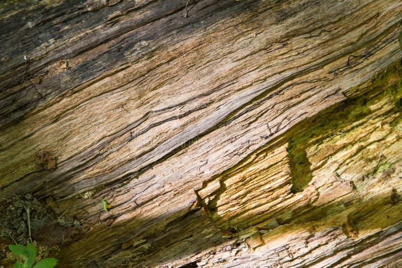 Hemligheter av ett gammalt tr?d som ?r stupat i skogen royaltyfri foto