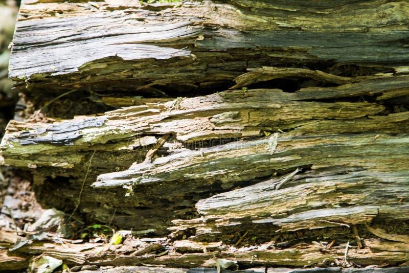 Hemligheter av ett gammalt tr?d som ?r stupat i skogen arkivfoto