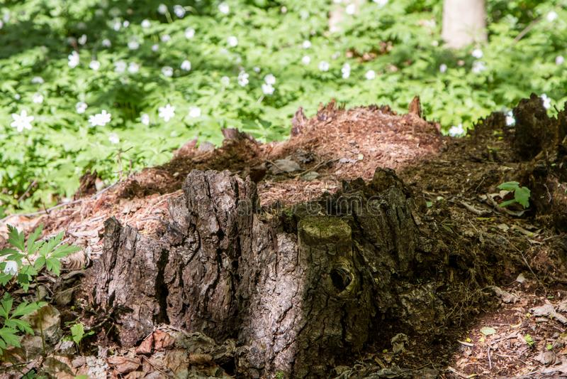 Hemligheter av ett gammalt tr?d som ?r stupat i skogen arkivbilder
