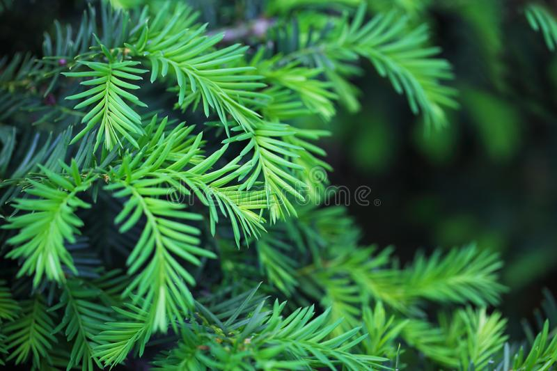 Hemlock Pine Bush. Branches for Christmas Holiday royalty free stock photos