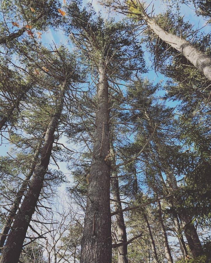 Hemlock tress woods in winter. The Rachel Carson National Wildlife Refuge Hemlock tress woods in winter Cumberland County,York County, Maine, United States stock photo