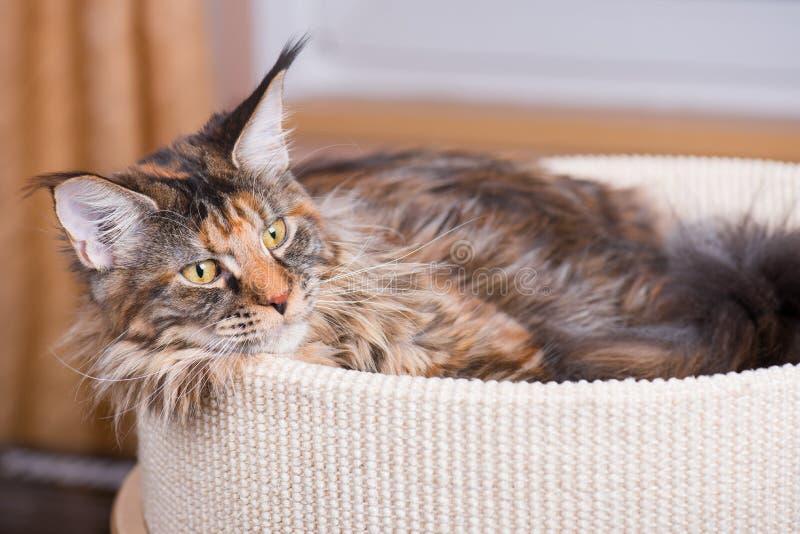 Hemmastadd Maine Coon kattunge royaltyfri bild