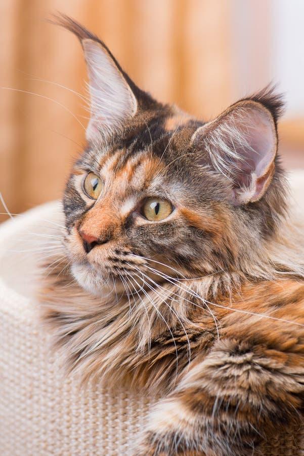 Hemmastadd Maine Coon kattunge royaltyfria foton