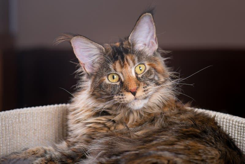 Hemmastadd Maine Coon kattunge arkivbild