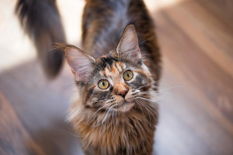 Hemmastadd Maine Coon kattunge royaltyfri foto