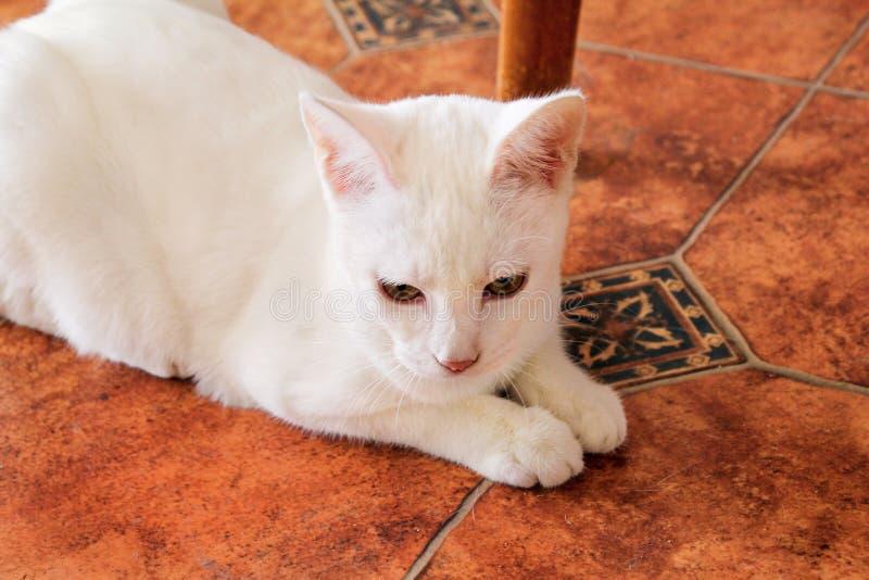 Hemmastatt ligga för vit kattstående och koppla av Stäng sig upp av den vita kattungekatten i hus royaltyfri fotografi
