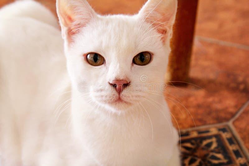 Hemmastatt ligga för vit kattstående och koppla av Stäng sig upp av den vita kattungekatten i hus Gullig härlig liten pott royaltyfri foto