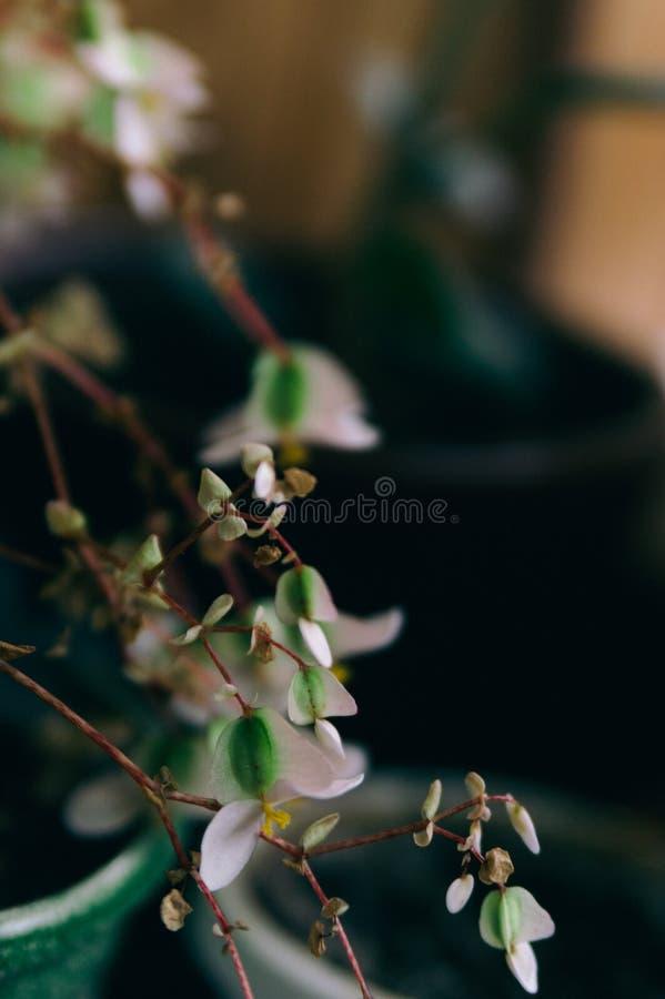 Hemmet planterar vita små blommor royaltyfria foton