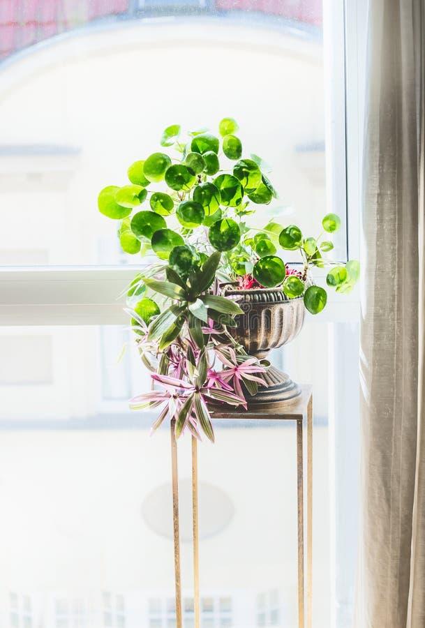 Hemmiljödekor med inomhus husväxter Härlig urnaplanter med den kinesiska pengarväxten royaltyfri foto
