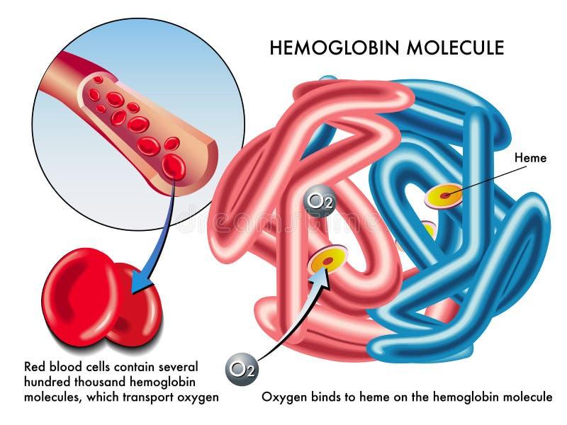 Hemoglobina ilustración del vector