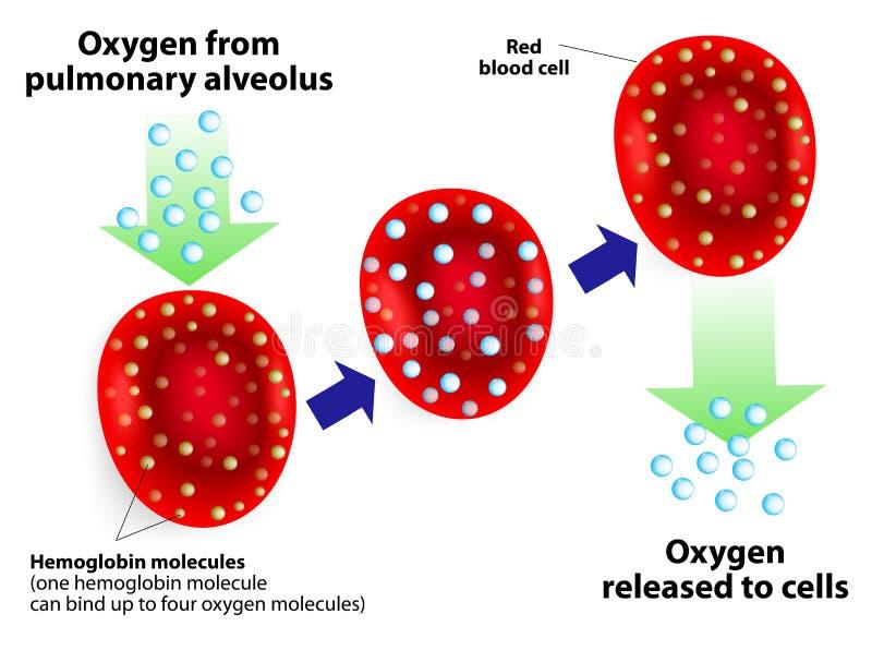Hemoglobina y respiratorio ilustración del vector