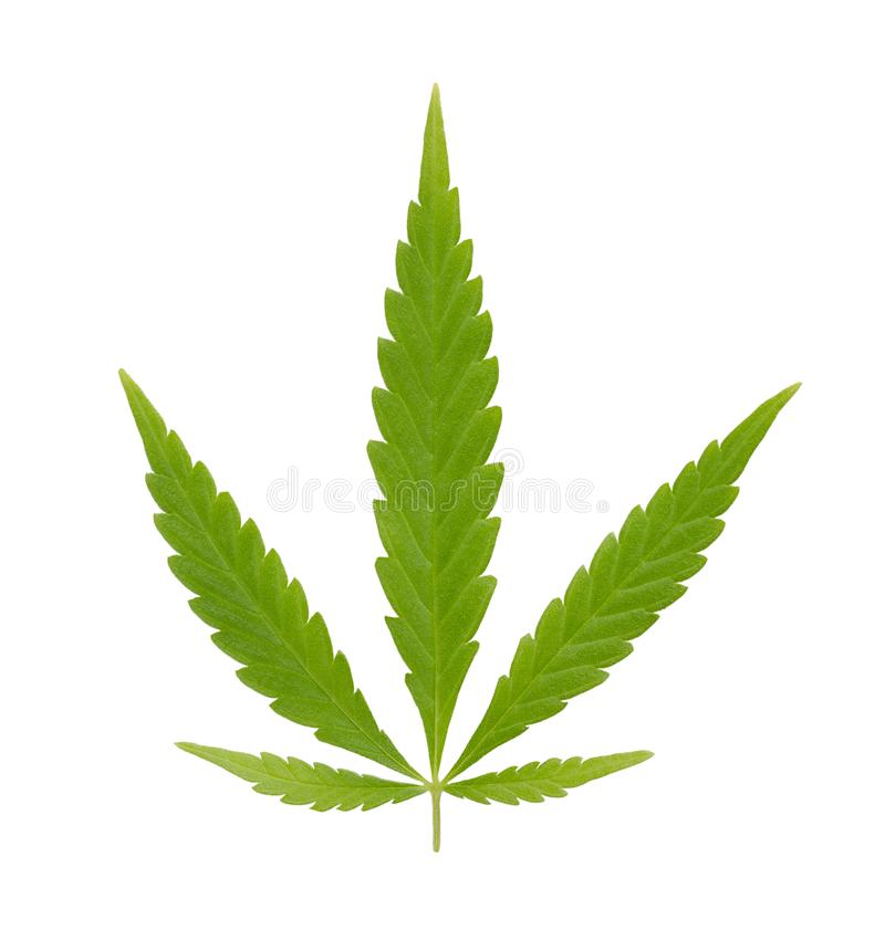 Hemp, cannabis fan leaf, over white royalty free stock photo