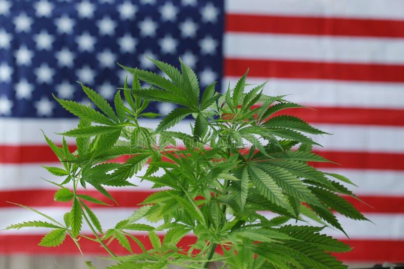 Cannabis cbd marijuana American flag. Hemp cbd cannabis marijuana American flag stock photo