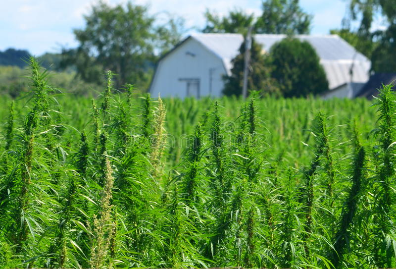 Hemp farm stock photo