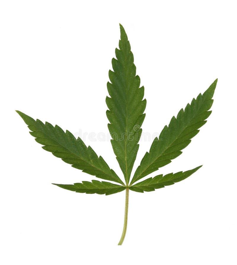 Download Hemp leaf stock photo. Image of culture, healthcare, dope - 15323498