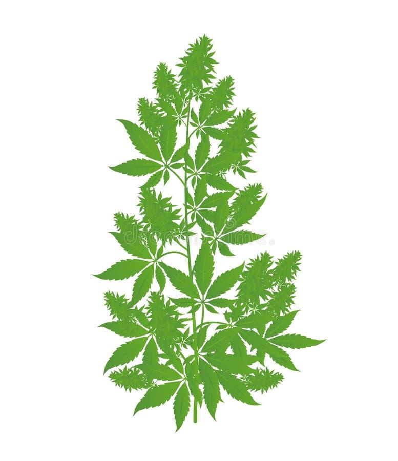 Hemp plant. Marijuana or cannabis indica tree. Isolated vector illustration on white background. royalty free illustration
