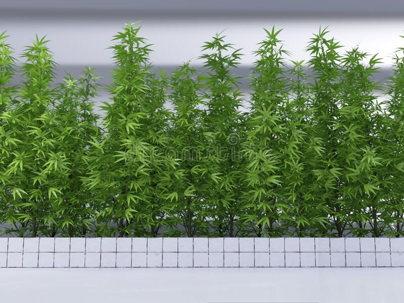 Hemp plantation in a greenhouse royalty free stock photo