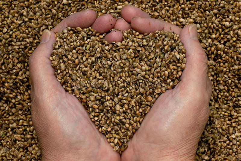 Hemp Seeds. Held by woman hands, shaping a heart
