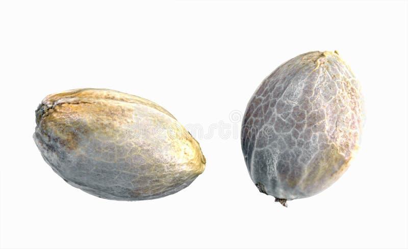 Hemp seeds. Isolated on a white background royalty free stock photo