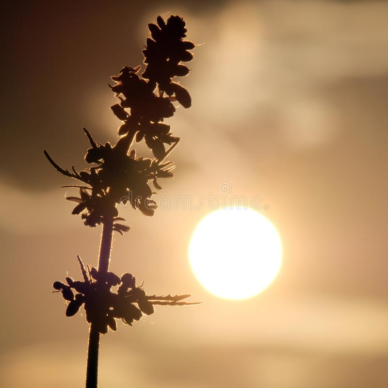 Hemp and sun. Top of cannabis in the heat. Marijuana sprout against the evening or morning sky. Sun disc or full moon and stock image