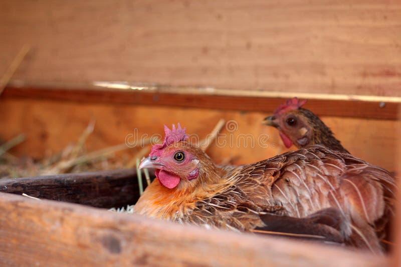 Download Hen stock photo. Image of domestic, farm, eggs, animal - 16081084