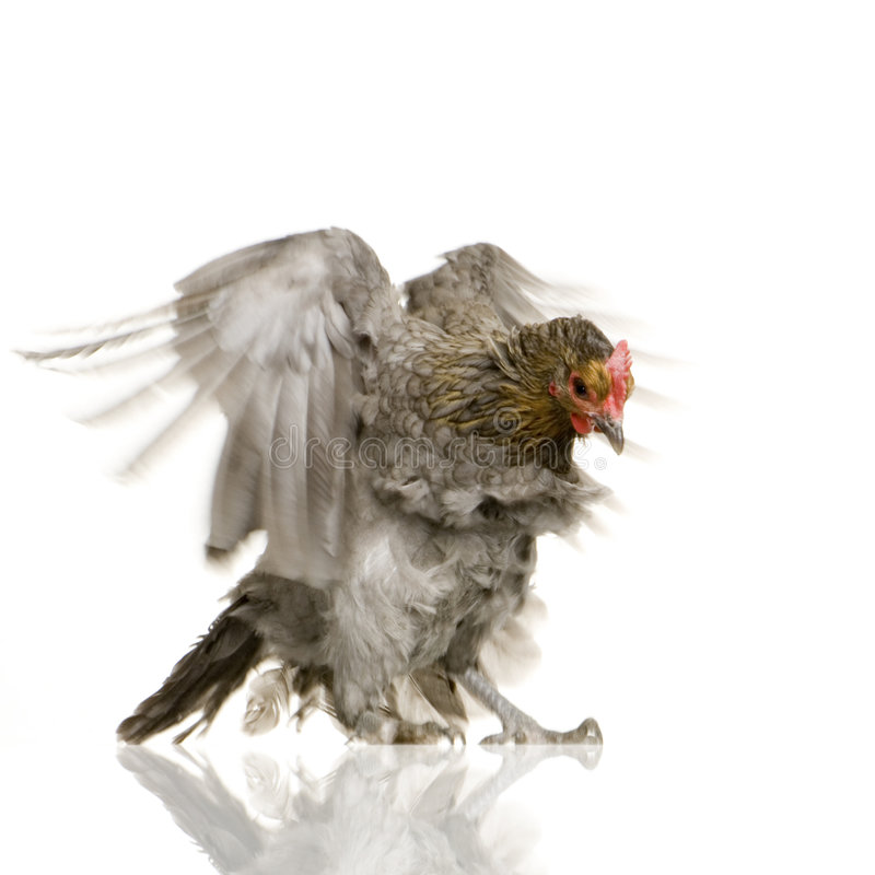Download Hen Stock Images - Image: 2312934