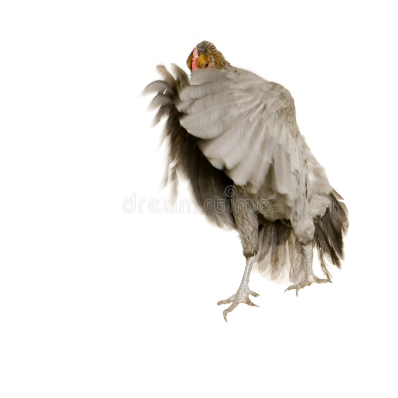 Download Hen stock photo. Image of fall, action, moving, poultry - 2312966