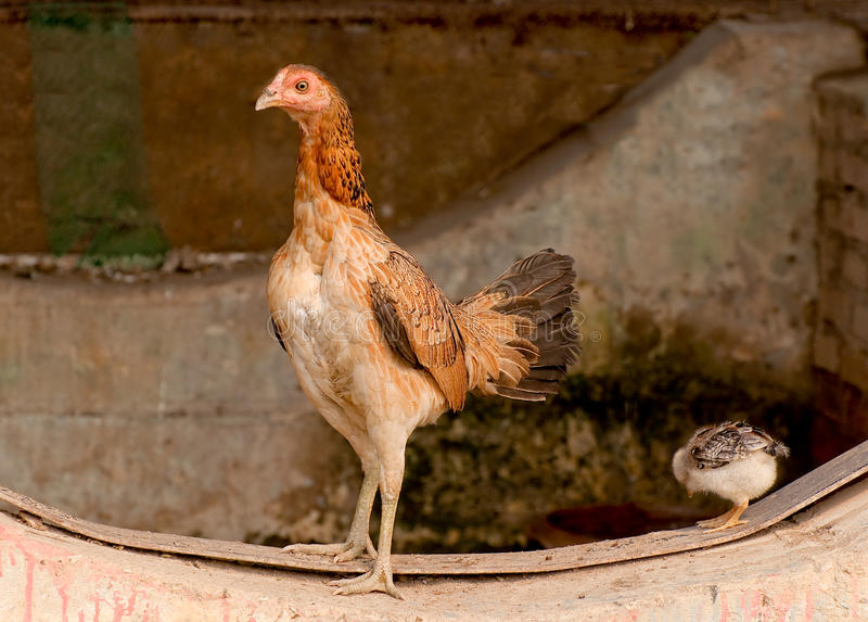 Download The Hen stock photo. Image of feather, farm, education - 25458632