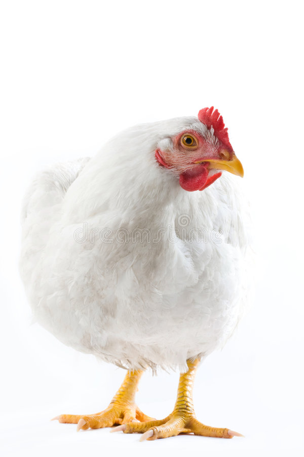 Hen. Image of white hen standing and looking aside