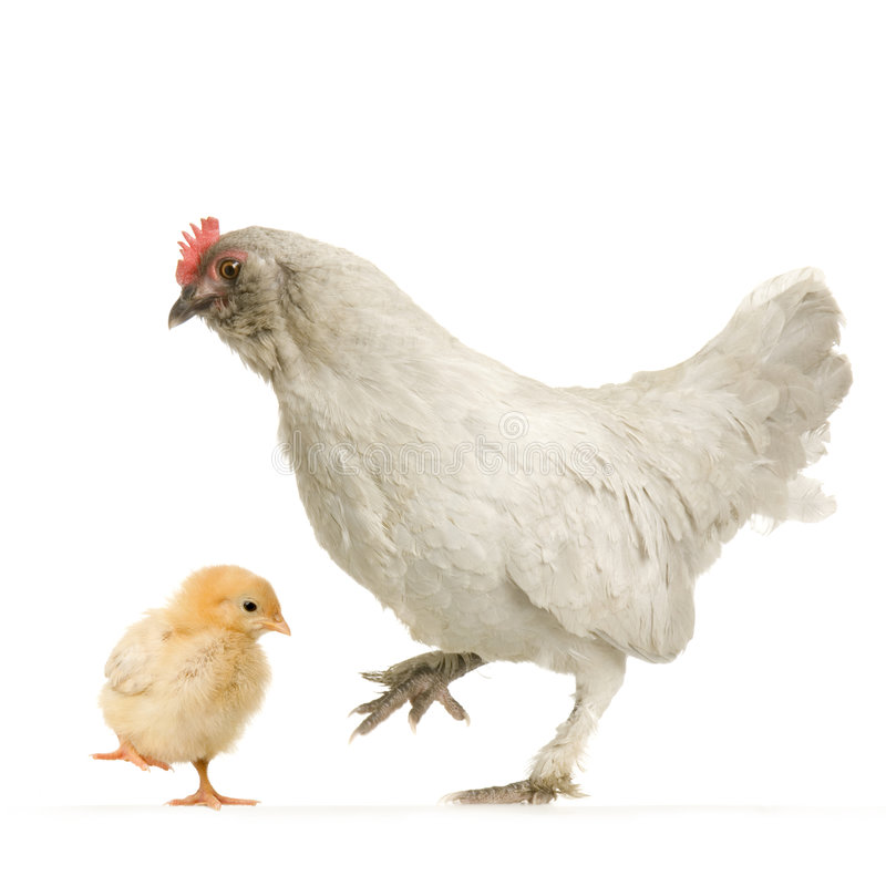 Free Hen And Her Chick Royalty Free Stock Images - 2307619