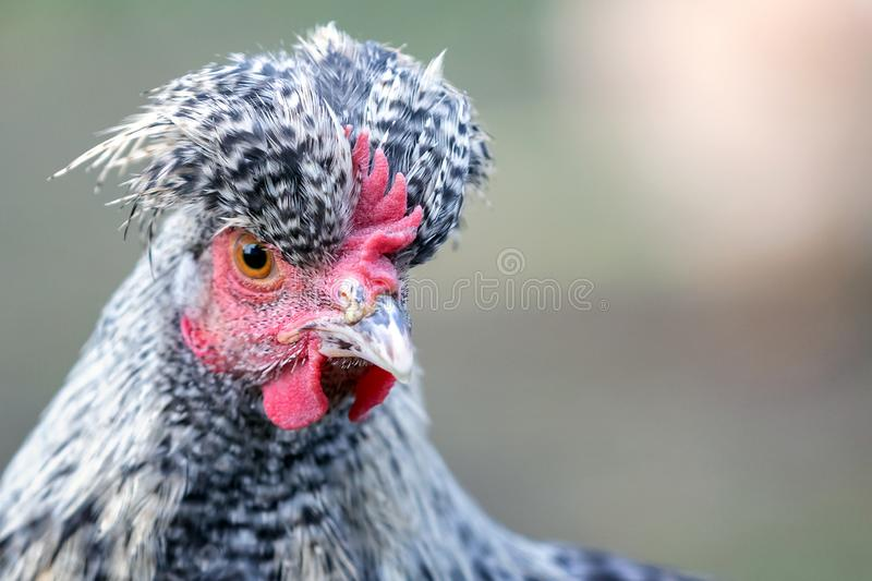 Hen with big topknot in the gray background. Portrait of speckled gray chicken with big topknot royalty free stock photography