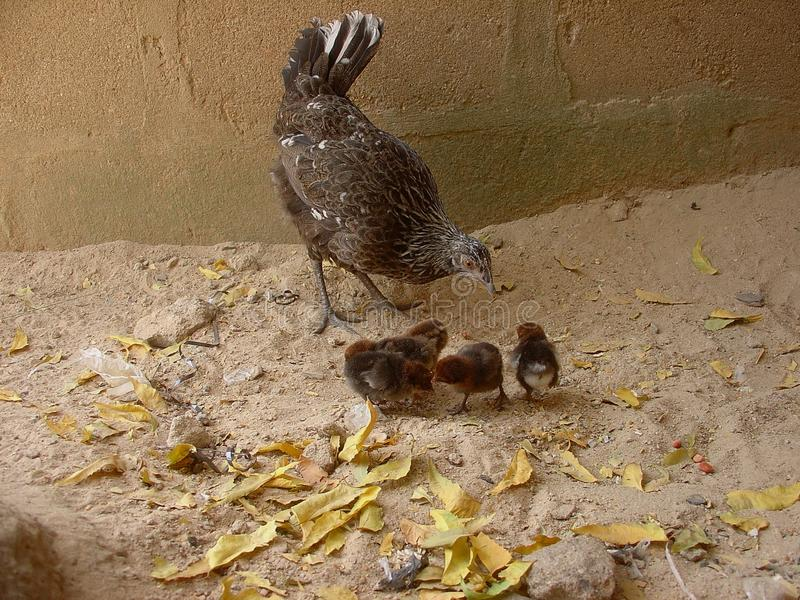 Hen with chicks stock image