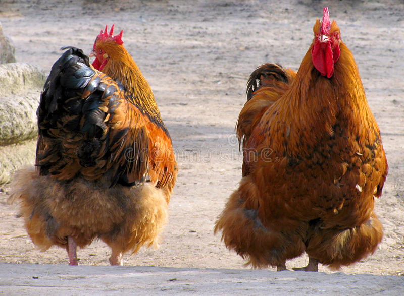 Download Hen and stock photo. Image of hens, rooster, bird, farmig - 13547228