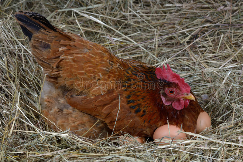 Hen eggs royalty free stock image