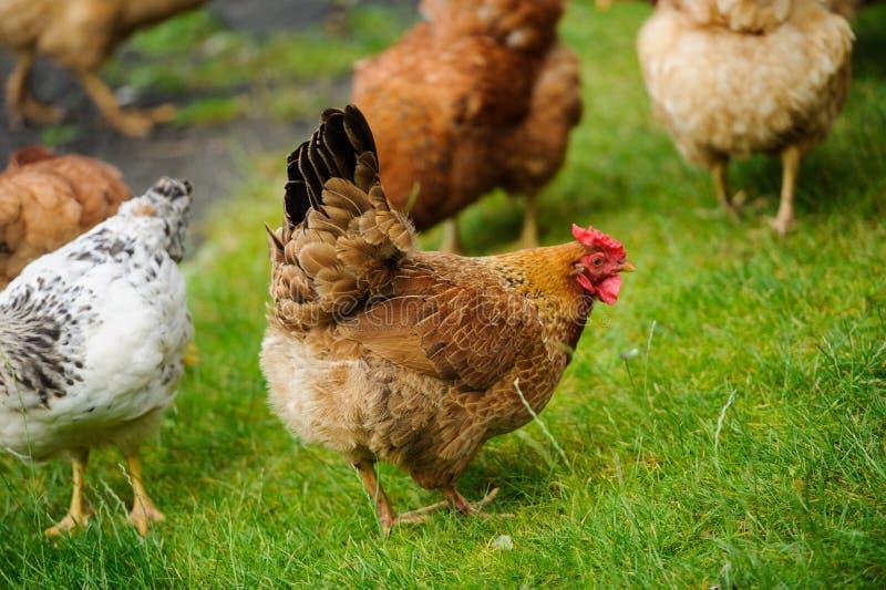 Hen on a green grass. Hen running on a green grass, agriculture, animal, avian, beak, bird, breed, brown, chicken, cockerel, comb, crowing, domestic, farm stock photography